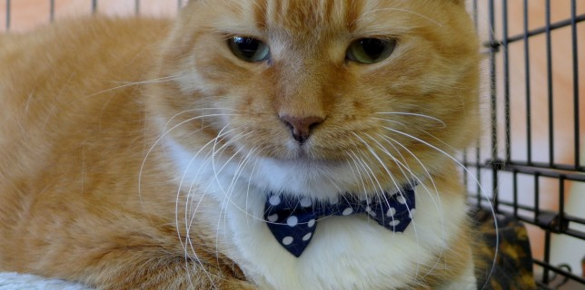 Our dapper orange hunk sporting a dark blue polka dot bow tie!!